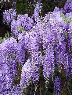 How To Grow and Care for Wisteria