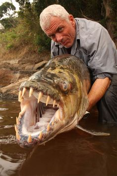 """""""The Goliath Tigerfish (Hydrocynus goliath) is a member of the African tetra family, Alestidae. Being the biggest member of this family, it can grow to reach around 1.4m long. A native of the Congo River basin, the Lualaba River, Lake Upemba and Lake Tanganyika in Africa, it's the largest member of the tigerfish clan, a genus of fierce predators with protruding, daggerlike teeth. Locals say it's the only fish that doesn't fear the crocodile and that it actually eats smaller ones."""""""