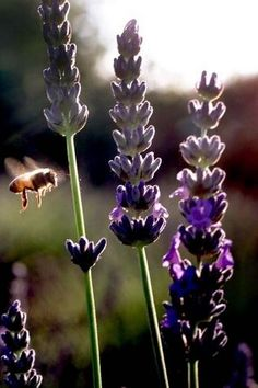 Blooming lavender attracts bees.
