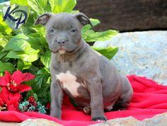 Scarla – American Bully Puppy  www.keystonepuppies #keystonepuppies  #americanbully