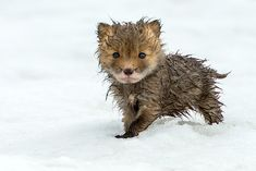 Drenched baby fox. Probably the cutest thing I've ever seen!