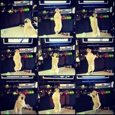 Rosy's frenzied dance whenever she sees her favorite antidepressant commercial with a dog in it dogs, favorit antidepress, rosi frenzi, antidepress commerci, frenzi danc, dance