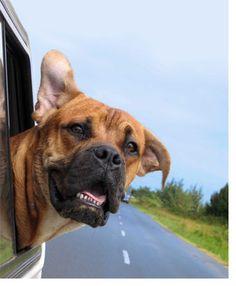 Dog- car window 1