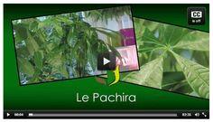 Tout savoir sur le Pachira, ce très bel arbuste ! #jardin #truffaut