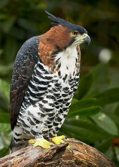 Ornate Hawk-Eagle (Spizaetus ornatus) is a bird of prey from the tropical Americas. Like all eagles, it is in the family Accipitridae. This bird is found in humid tropical forests from southern Mexico and the Yucatán Peninsula, to Trinidad and Tobago, south to Peru and Argentina.