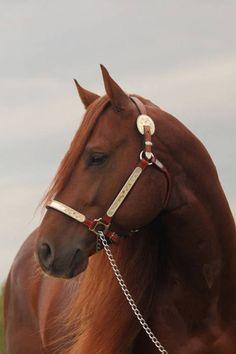 American Quarter Horse stallion customized Crome