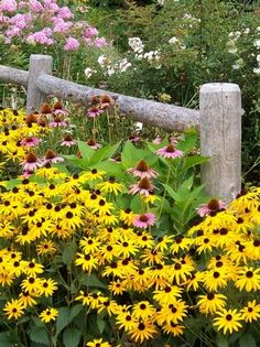 Late summer perennial garden overflowing with colorful black- eyed Susans, Pink Coneflowers, Pink tall Phlox.