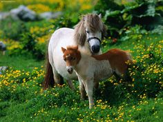 Pony mare and pinto foal