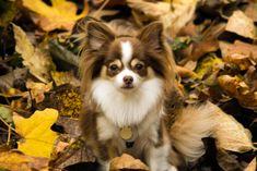 Fall Chihuahua