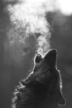 Cool air wolf