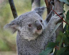 More koala cuteness www.sandiegozoo.org/koalafornia