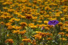 Reno Tahoe's spring flowers.