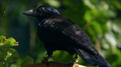 Are crows the ultimate problem solvers? - Inside the Animal Mind: Episod...