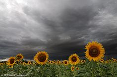 Sunflowers!!! - Bad Weather Photography