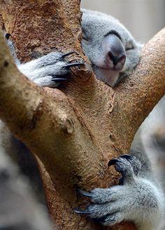 Tree hugging Koala