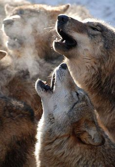 Beautiful Wolves in harmony