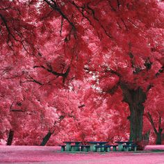 Japanese Maple Tree, Austin, TX - 40 Incredible Photos of Breathtaking Places