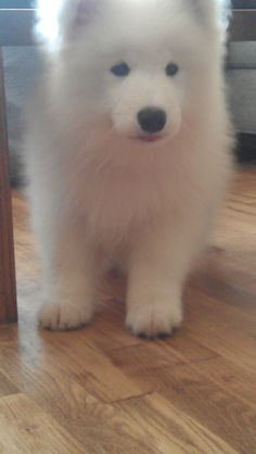 Our Samoyed puppy