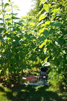 Grow a Summer Sunflower House