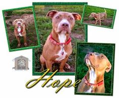Hope is an adoptable Pit Bull Terrier Dog in Colleyville, TX. Hope came to us Jan.31st. She had been in the shelter for 10 days. She was pretty emaciated, but still high in spirits. In the time she's ...