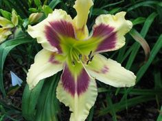 """Hemerocallis 'Mad Jacky', hybridized by Jim Murphy of Woodhenge Gardens. Murphy registered it as an early bloomer that later reblooms, and describes it as having a """"very, very long bloom season"""" and as a budbuilder. Rebloomer AND a bud builder? Yes, please."""