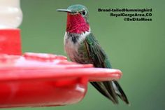 birdi told, balls, ahhhh hummingbird, map, hous, beauty, hummingbird migrat, garden, friend