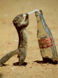 Do Coke. funny animals, coca cola, squirrels, coke, the real, drinking, funni, cocacola, drinks