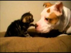 Cute Pitbull in Love With a Kitten