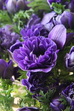 Anemone Monarch Purple