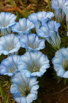 ItsSelected: Gentiana hexaphylla