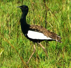 The Bengal Florican (Houbaropsis bengalensis), also called Bengal Bustard, is a very rare bustard species from the Indian Subcontinent. They are normally silent but when disturbed utters a metallic chik-chik-chik call. This threatened species is now almost extinct; probably less than 1,000 and perhaps as few as 500 adult birds are still alive. n India the decline is coming to a halt and that stocks in Kaziranga National Parks and Dudhwa Tiger Reserve are safe at very low levels.