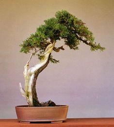 Juniper Bonsai Gallery