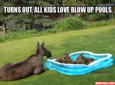 Awwww Baby moose east coast, funny animals, pool parties, swimming pools, kiddie pool, funny pictures, moose, hot days, cooling off