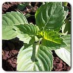 Organic Sacred Basil  Similar in looks and growth habit to culinary basil, Sacred Basil sets itself apart with its pungent aroma. Sacred Basil deserves recognition for its medicinal properties--used as an adaptagen, expectorant, diaphoretic, antidote to poison, anti-inflammatory, liver protector, stomach ulcer preventative, immune stimulator, air purifier, and oxygenator of the brain. Oscimum sanctum) Days to maturity: 75 days