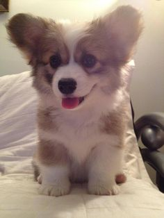 fluffy corgi puppy is the cure for the mondays