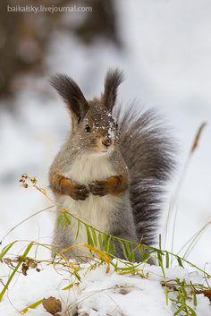 Photo by baikalsky ~ Snow Squirrel