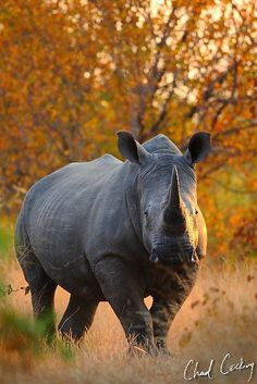 Rhino, Motswari Game Preserve.  This type of rhino has been declared extinct.  They still exist but numbers are so low in the wild, the species will not be able to sustain itself.  ALL types of rhinos are in danger of extinction.