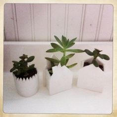 white succulents