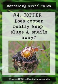Gardening Wives' Tales: Which ones really work? | Does copper really repel slugs and snails? Find out what the research says...