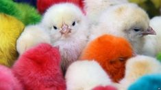 In Syria, dyed chicks are on sale in a district of Damascus.