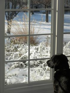 Miss Maybelle looking out on her first snow.  Career change Guide Dogs for the Blind puppy away from her home state of California.