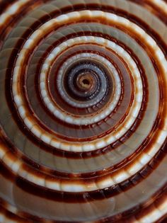 Architectonica shell by Panticore, via Flickr