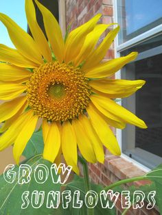 Grow Sunflowers with Kids from The Golden Gleam