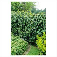Ivy Covered Chain Link Fence | greengardenblog.comgreengardenblog.com