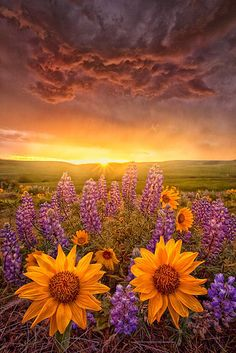 . god, color, sunsets, sunris, beauty, flower fields, flowers, spring blooms, blossom