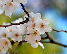 Ciliegio in fiore, Nagoya, Giappone Fotografia di Achim Runnebaum, My Shot