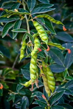 Gungo Peas ~ Jamaica