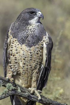 Swainson's Hawk - Hawks Aloft | Flickr - Photo Sharing!