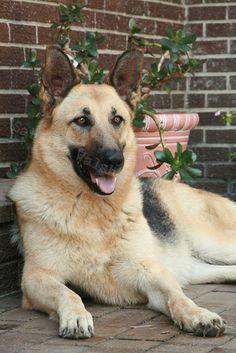 German Shepard, beautiful dog