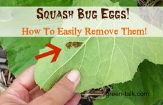 squash bug egg removal made easy